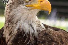 Aguila-calva-2